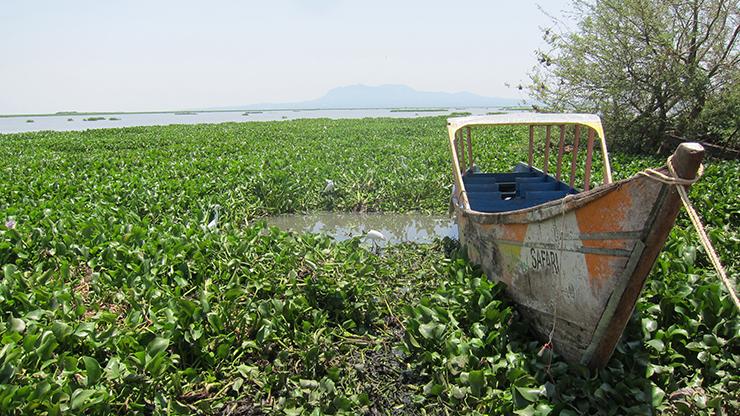 ビクトリア湖を覆い尽くす水草。地元の水産業や交通に壊滅的被害を与えている(ケニア)
